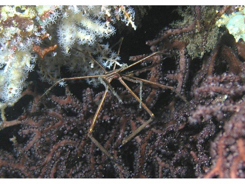Yellowline Arrow Crab