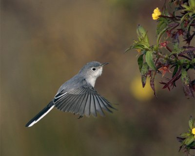 Grey Gnatcatcher hovering.jpg
