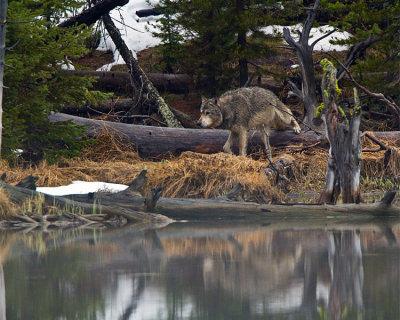 Grey Wolf Climbing Over a Log at North Twin Lake.jpg