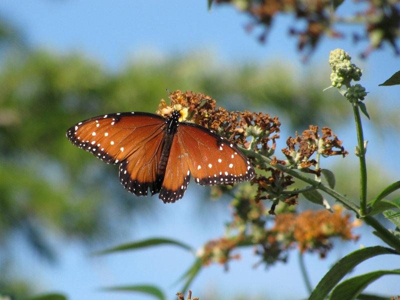 Queen Butterfly, late season arrival