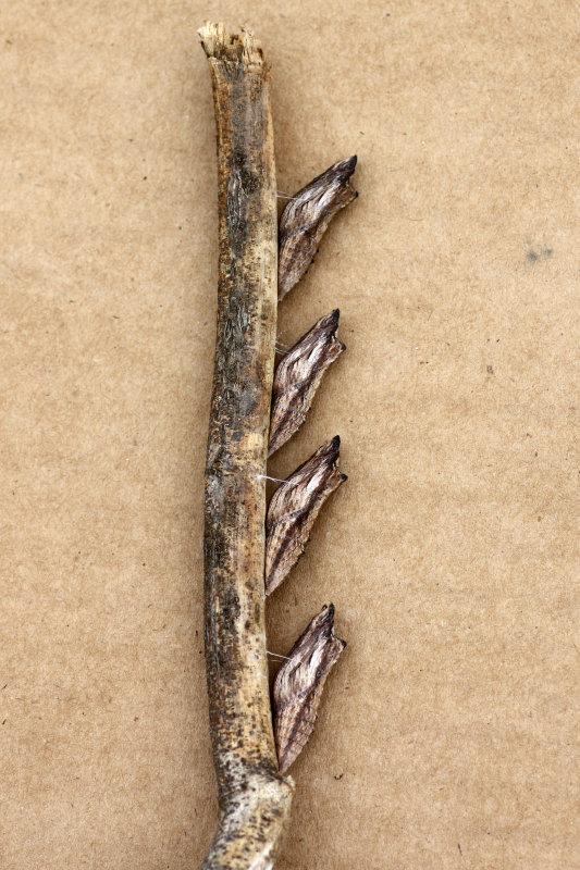 Eastern Black Swallowtail chrysalides