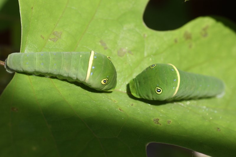 Eastern Tiger Swallowtail Caterpillars, late instar