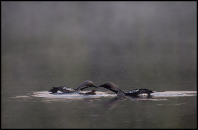 Black-throated Divers with chick - Älgasjön at dawn