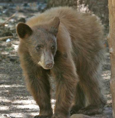Cinnamon Bear 2.jpg