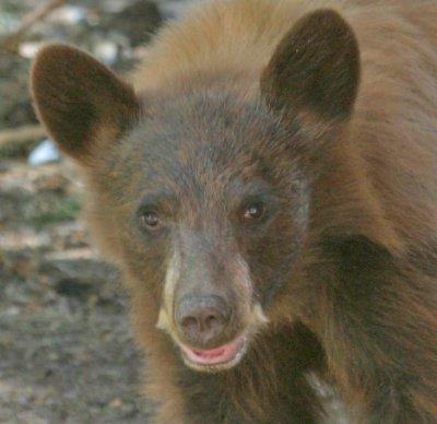Cinnamon Bear Cub 1.jpg