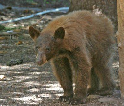 Cinnamon Bear Cub 3.jpg