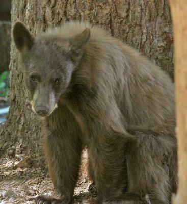 Cinnamon Bear Cub 4.jpg