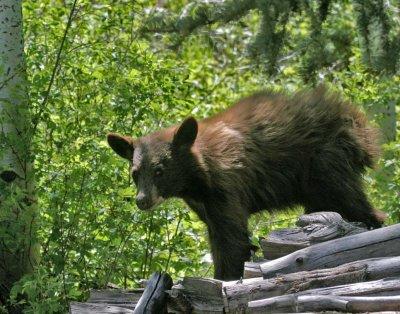 Cinnamon Bear Cub 5.jpg