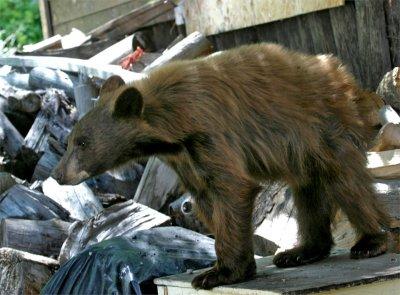 Cinnamon Bear Cub 6.jpg