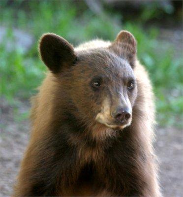 Cinnamon Bear Cub 7.jpg