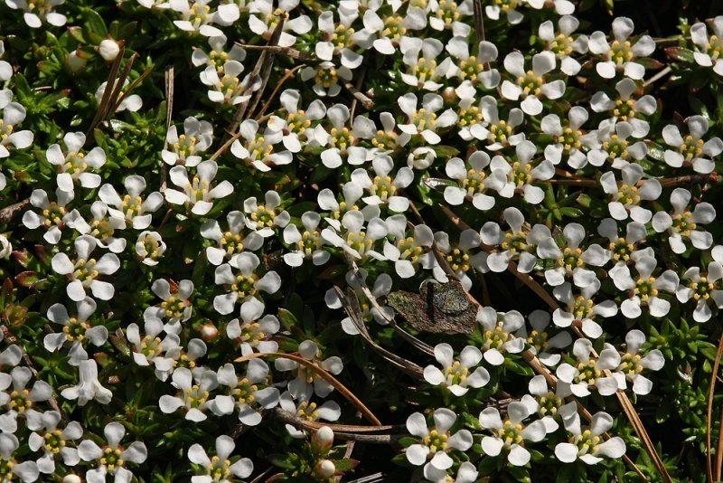 Pyxie (Pyxidanthera barbulata)