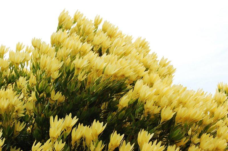 yellow gust