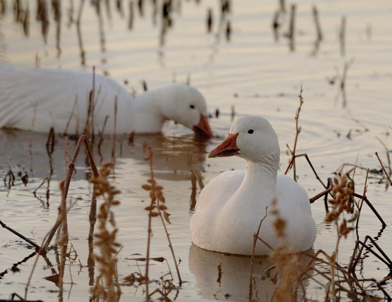 Dawn Geese on Water.jpg