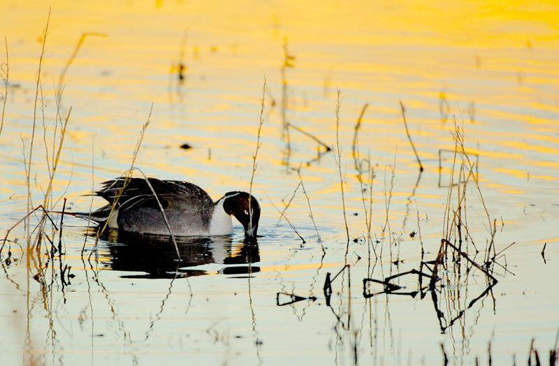 Nothern Pintail at Dawn.jpg