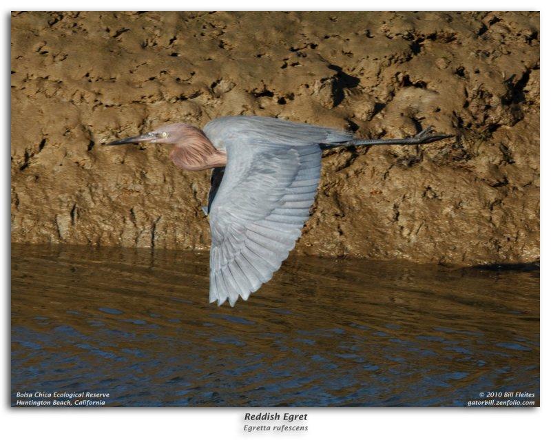 Reddish Egret in Flight Burst Sequence