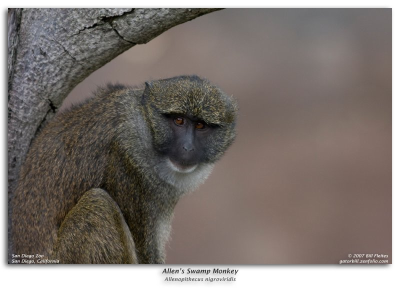 Allens Swamp Monkey