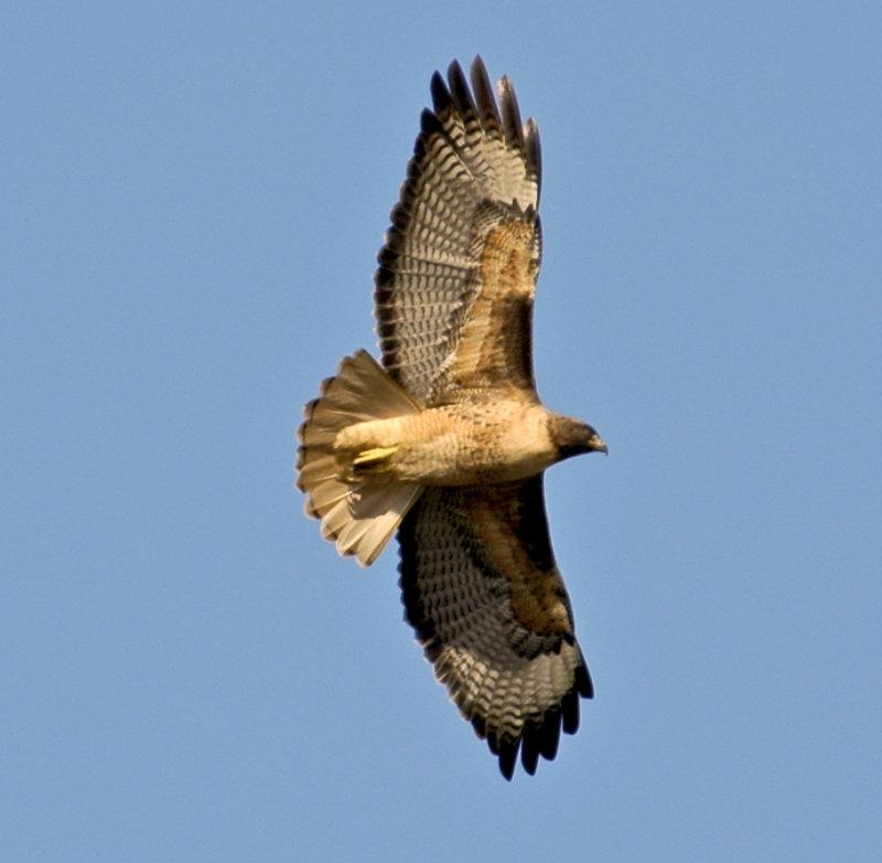 redtail hawk drifting