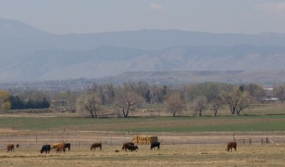 zP1040356 Cows eat polluted grass and breath polluted air east of Lyons Colorado.jpg