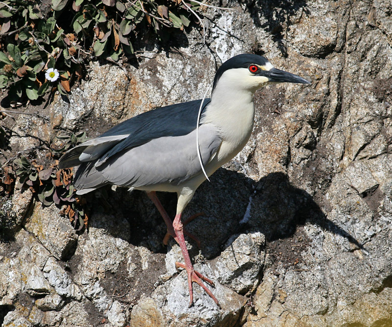 Black-Crowned Night Heron (Nycticorax