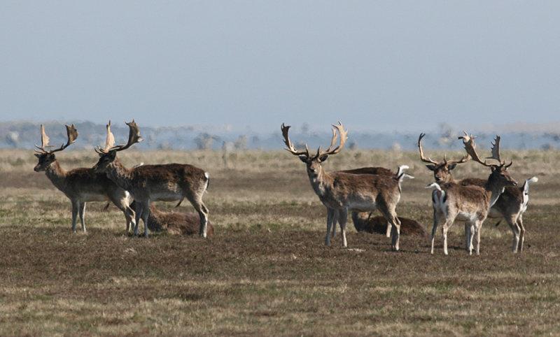 Fallow Deer (Dama dama) - dovhjort