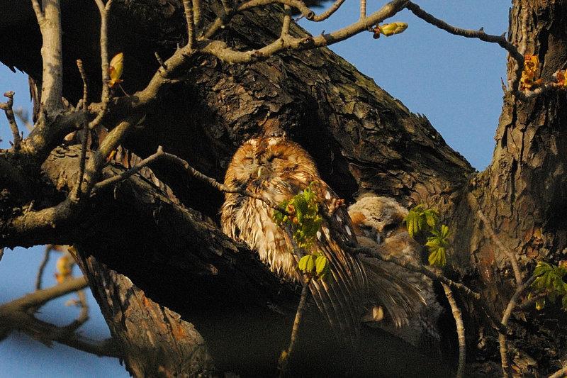 Tawny Adult & Owlet