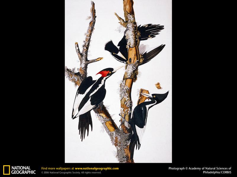 ivory-billed-woodpecker.jpg