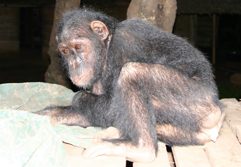 chimp_5431