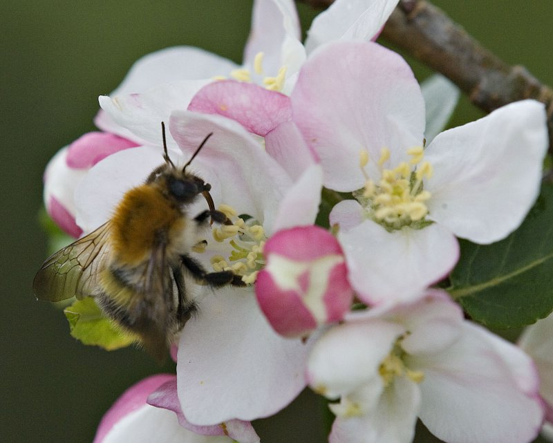 Bee on Apple-Blossom