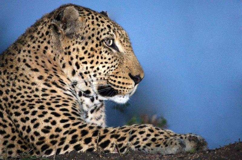 Alpha Male, Kruger, SA