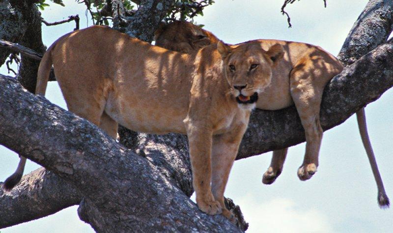 Serengeti Lionesses 2