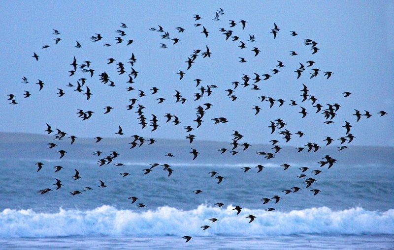 Sanderling Flock