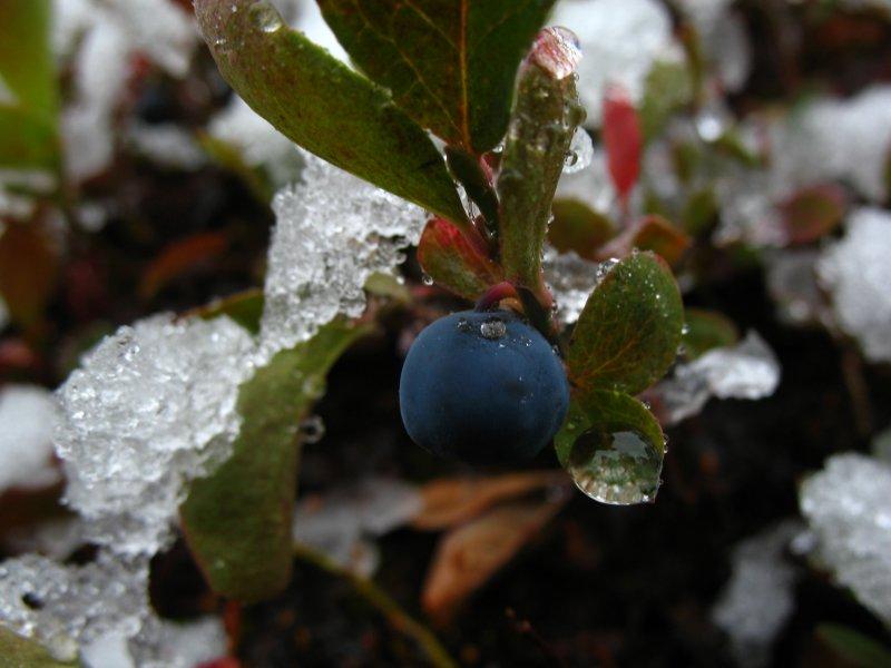 blueberry snow.jpg