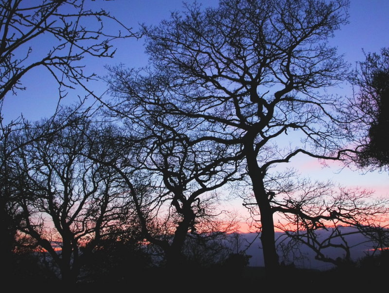 winter sticks - oaks at top of our garden and next door