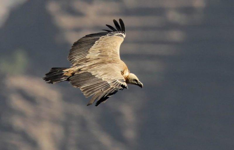 Griffon Vulture (Gåsgam) Gyps fulvus