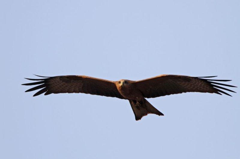 Black Kite (Brun glada) Milvus migrans