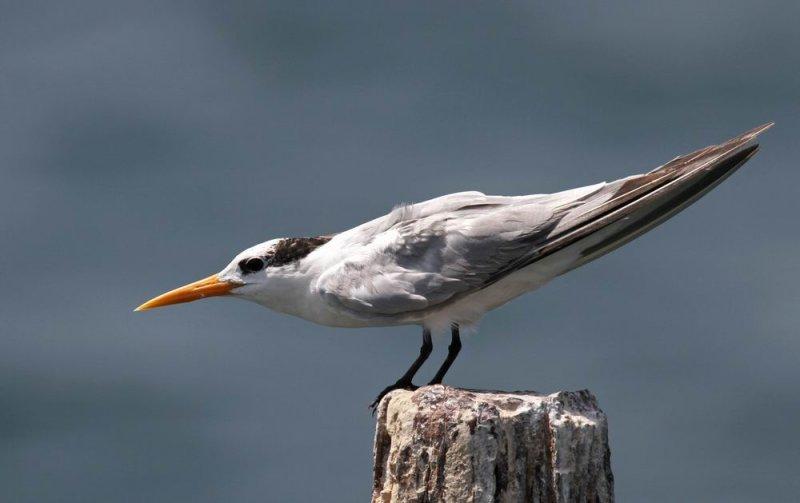 Lesser Crested Tern (Iltärna) Sterna bengalensis