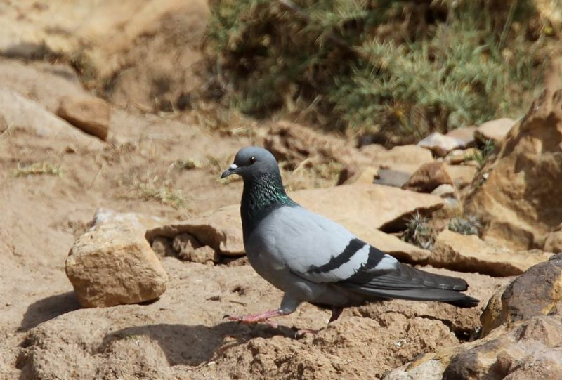 Rock Pigeon (Klippduva) Columba livia