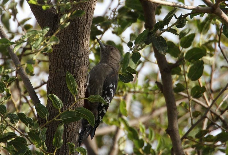 Arabian Woodpecker (Arabspett) Dendrocopos dorae