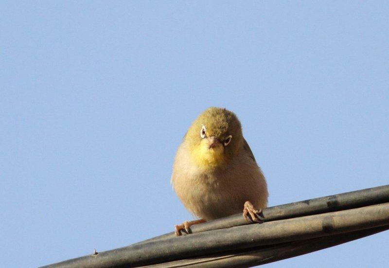 Abyssinian White-eye (Abyssinsk glasögonfågel)  Zosterops abyssinicus