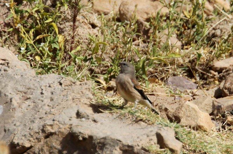 Yemen Linnet (Jemenhämpling)  Carduelis yemenensis