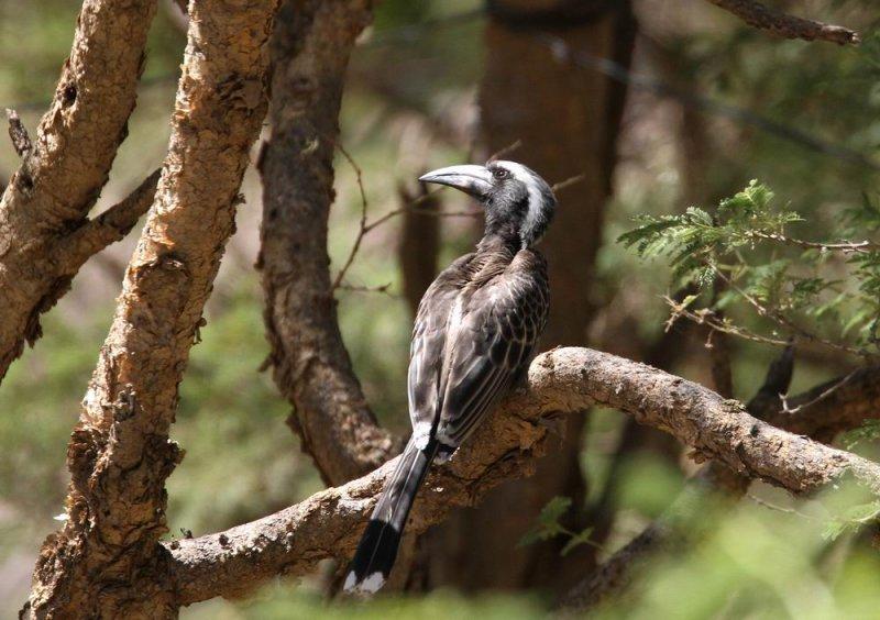 African Grey Hornbill (Afrikansk gråtoko) Tockus nasutus