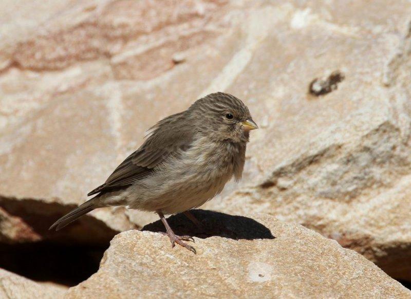Yemen Serin (Jemensiska) Serinus menachensis