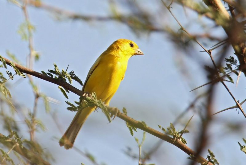 Arabian Golden Sparrow (Arabguldsparv) Passer euchloris