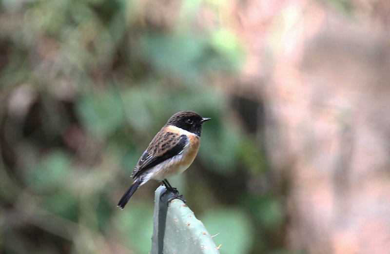 Common Stonechat (Svarthakad buskskvätta) Saxicola torquatus felix