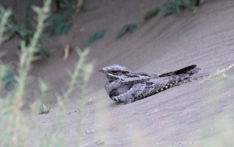 Eurasian Nightjar (Nattskärra) Caprimulgus europeus