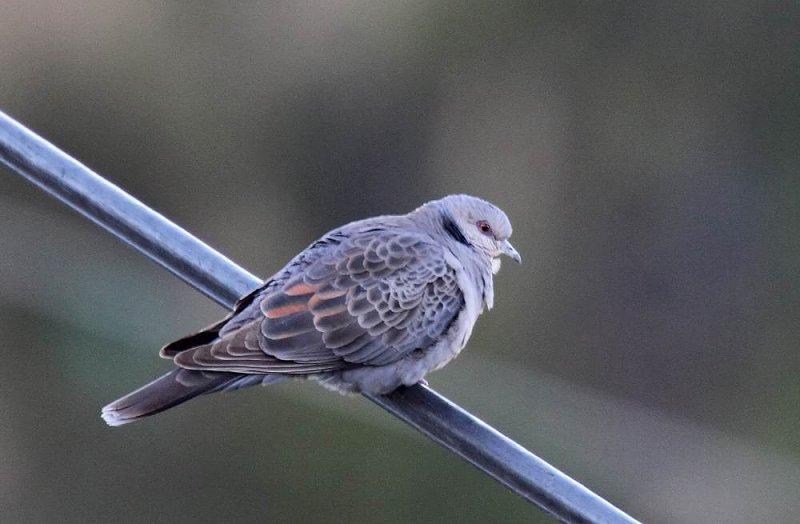 Dusky Turtle-Dove (Mörk turturduva) Streptopelia lugens