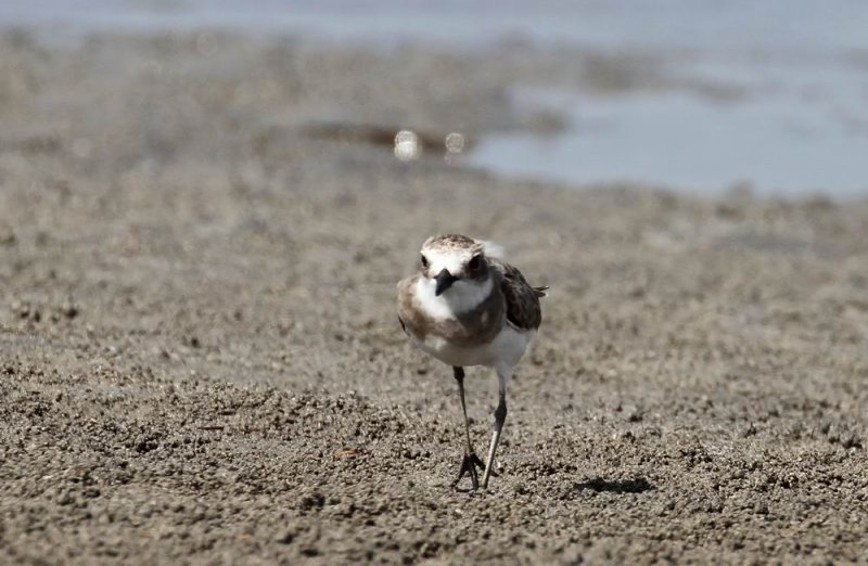 Greater Sand Plover (Ökenpipare) Charadrius leschenaultii