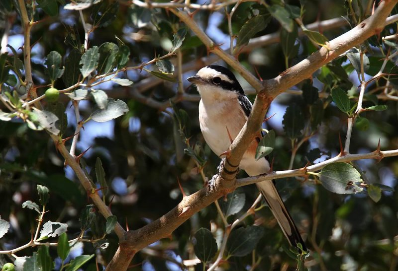 Masked Shrike (Masktörnskata) Lanius nubicus