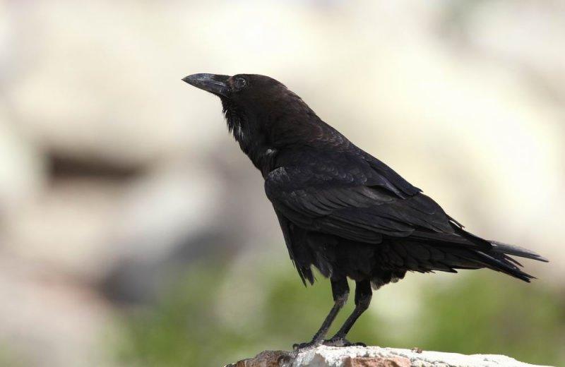 Brown-necked Raven (Ökenkorp) Corvus ruficollis
