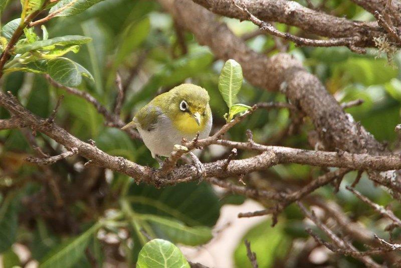 Abyssinian White-eye  (Abessinsk glasögonfågel) Zosterops abyssinicus
